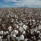 "Greg Wuertz's family has grown cotton for generations, always with the backing of federal subsidies. ""Some years, all of what you made came from the government,"" he said."